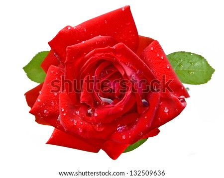 Red rose closeup with water drops isolated on white background - stock photo