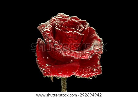 Red rose covered with bubbles on black background - stock photo