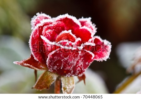 Red rose covered with frost - stock photo