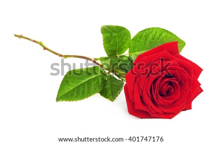 Red Rose Flower - stock photo