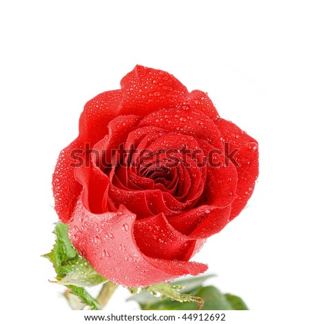 red rose  flower closeup isolated on a white