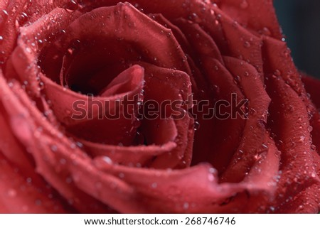 red rose flower covered with water droplets