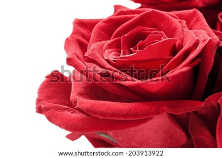 Red rose flower isolated over white closeup - stock photo