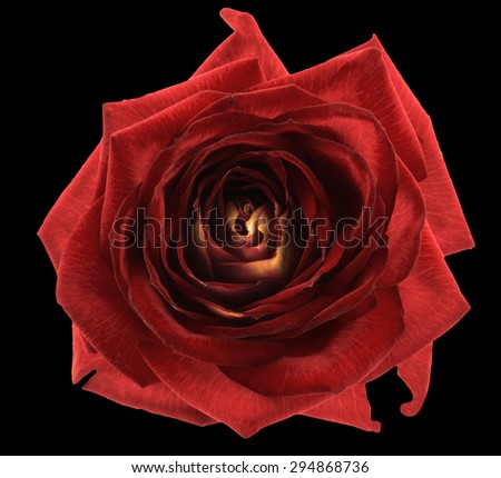 Red rose flower macro isolated on black - stock photo
