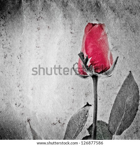 red rose flower on black and white paper texture - stock photo