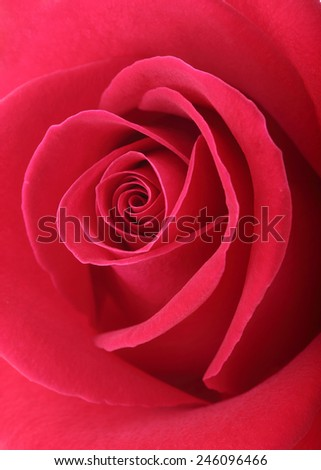 red rose flower with beautiful petals shape heart - stock photo
