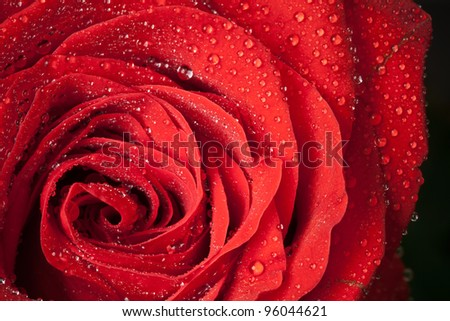 Red rose flower with water droplets. Close-up photo with shallow depth of field - stock photo