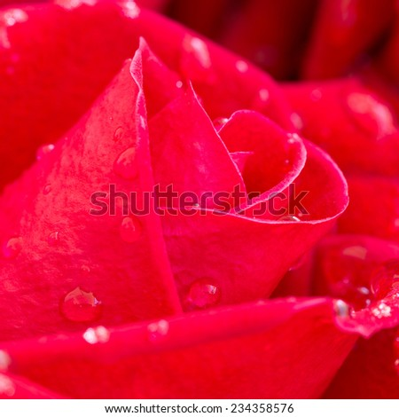 red rose flower with water drops on petal