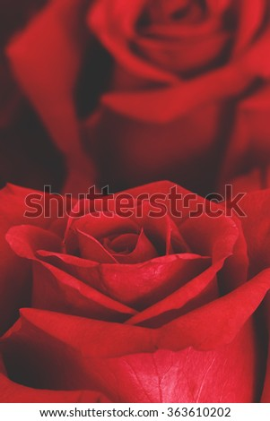 Red rose for Valentines Day background - stock photo