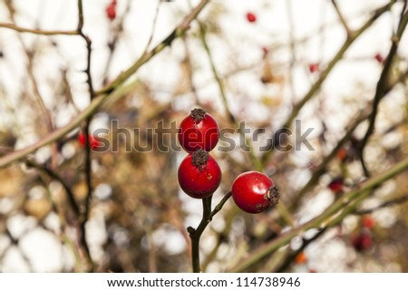 red rose hip under blue sky - stock photo