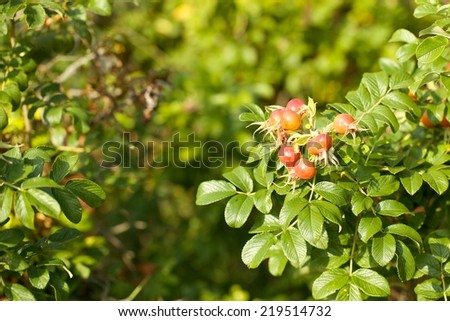 Red Rose Hips - stock photo