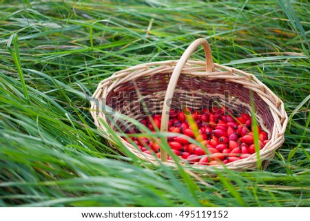 Red rose hips in small wicker picnic basket on green grass. Autumn concept.