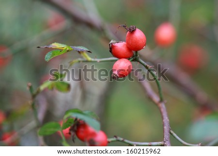 red rose hips on a bush, autumn, selective focus, some berries in focus, some are not  - stock photo