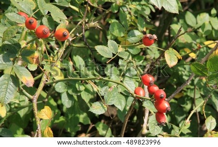 Red rose hips on the bush
