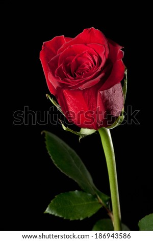 Red rose in full bloom - stock photo