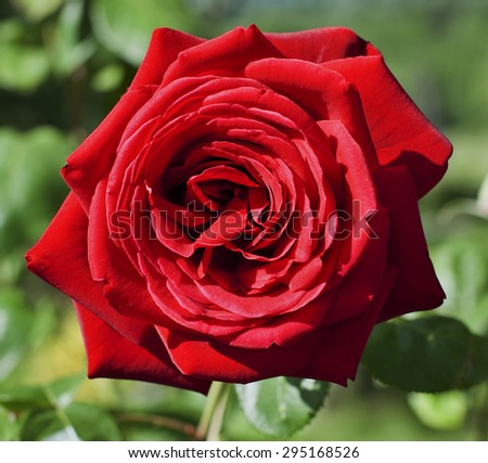 Red rose in garden on green blurred background - stock photo