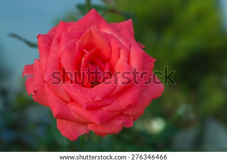 Red rose in garden. Selective focus