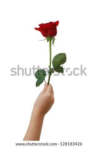 Red rose in hand over white background