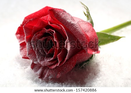 Red rose in ice on snow background