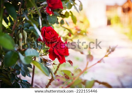 red rose in the flowerbed - stock photo