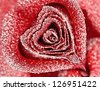 red rose in the form of heart in white frost. Rose petals in small ice crystals - stock photo