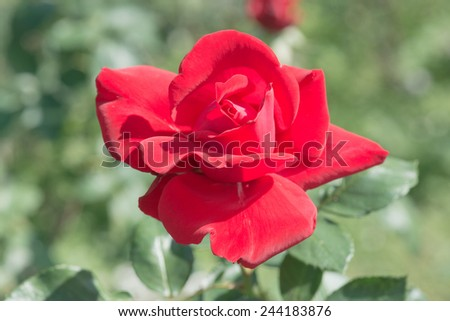 Red rose in the garden, Thailand. - stock photo