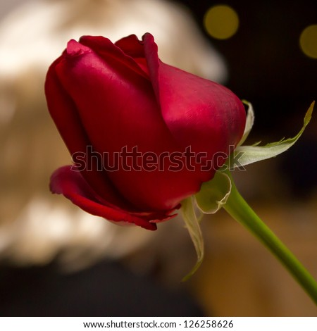 Red rose in the night with golden background - stock photo