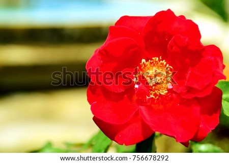 Red rose is blooming in the garden of Thailand. This image was blurred or selective focus. Black and white picture.