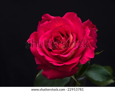 red rose isolated against a black background - stock photo