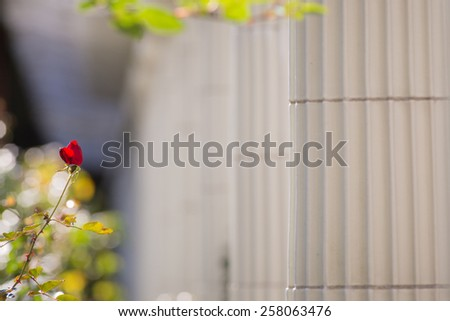 Red rose isolated by marble columns - stock photo