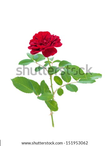 Red rose isolated on a white background - stock photo