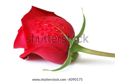 Red rose isolated on the white background - more similar photos in my portfolio