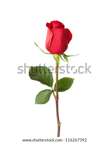 red rose isolated on white - stock photo