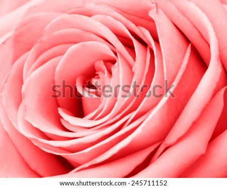 Red rose macro - stock photo