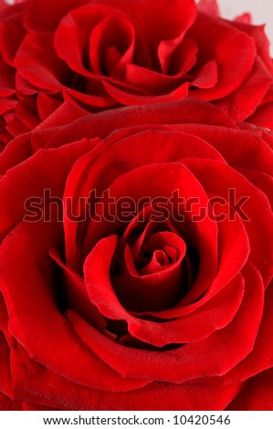 red Rose macro/ background flower