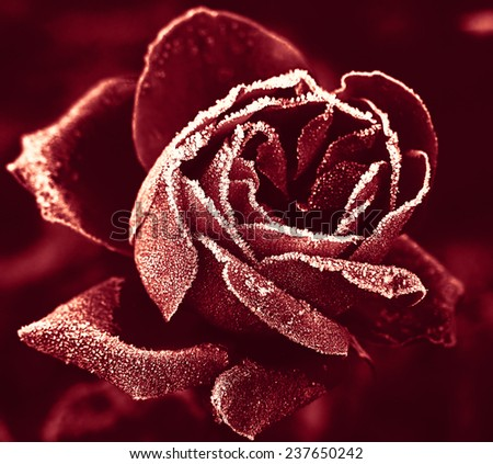 Red Rose marsala color under hoar-frost - stock photo