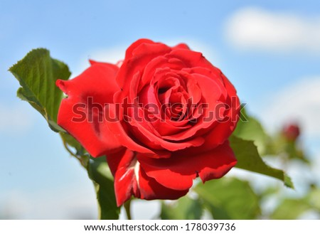 Red rose on a background of the sky