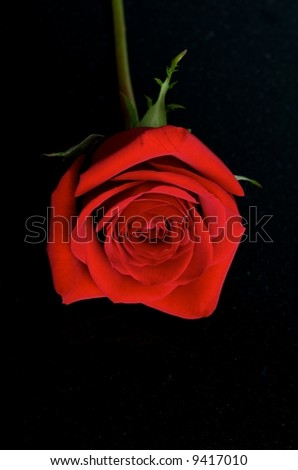 Red rose on a black background - stock photo