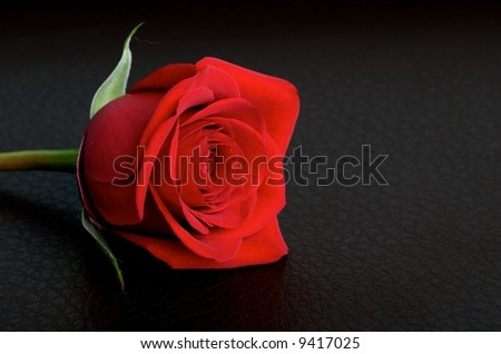 Red rose on a black leather background - stock photo