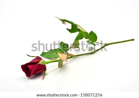 Red rose on a white background. - stock photo