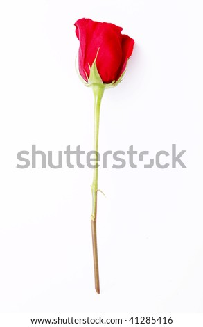 Red rose on a white background. Isolated single object