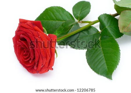 Red rose on a white isolated background - stock photo