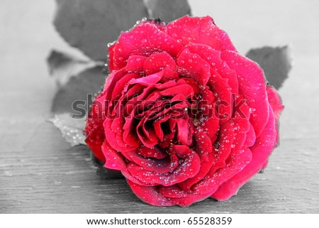 red rose on a wooden texture. black and white