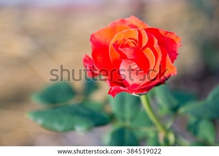 Red Rose on the Branch in the Garden - stock photo