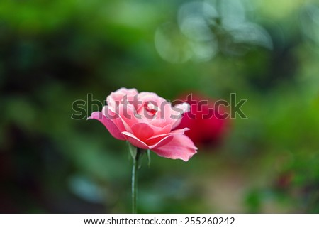 red rose outside against the backdrop of greenery - stock photo