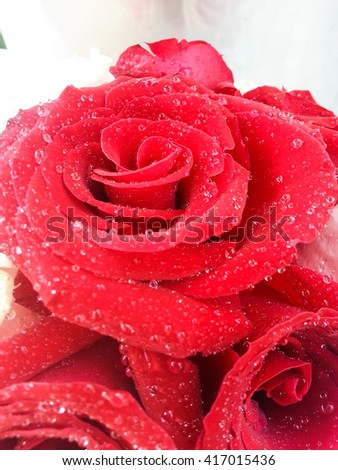 Red rose petals with rain drops. Red Rose.
