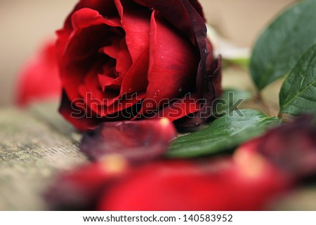 Red rose petals with water droplets. Closeup with shallow depth - stock photo