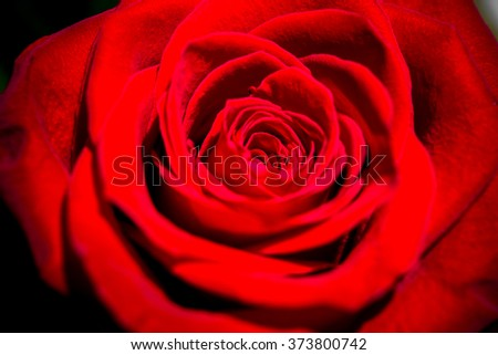 Red rose. Valentine's Day. Romantic flower.