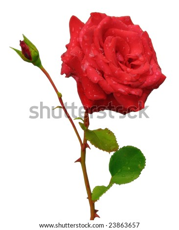 Red rose with bud - stock photo