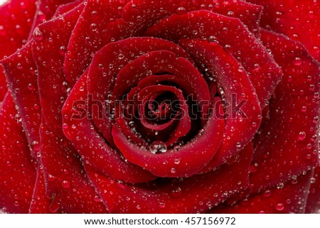 red rose with drops close-up - stock photo
